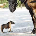 Imagen de caballo enano