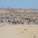 La problemática de los ganaderos se agrava aún más por el problema de falta de agua potable.