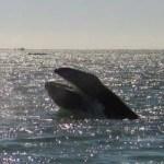 La zona costera que abarca desde la bahía de La Paz hasta Los Cabos representa una de las zonas con mayor vulnerabilidad para las doce especies de grandes cetáceos, indican investigadores de la UABCS.