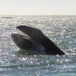 La zona costera que abarca desde la Bahía de La Paz hasta Los Cabos representa una de las zonas con mayor vulnerabilidad para las doce especies de grandes cetáceos.