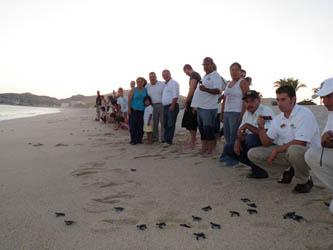 La asociación, dedicada a la protección del medio ambiente y de la tortuga marina, recibe a biólogos de todo el país, quienes llegan dispuestos a trabajar en la labor que, año con año, permite que las especies, como la golfina, siga llegando a estas costas sudcalifornianas a reproducirse.