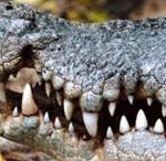El cocodrilo en un estanque de desagüe