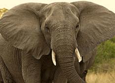 Elefante aprende coreano