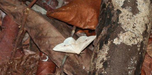 polilla blanca