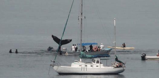 Liberan a la ballena varada en El Coromuel
