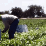 Trabajadores agricolas