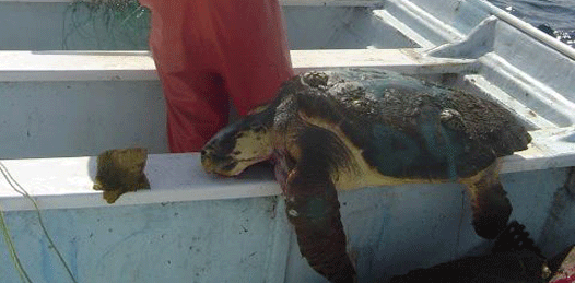 No ha descartado CONAPESCA ninguna posible causa de mortandad de tortugas