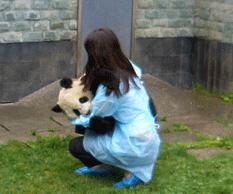 pandas traumatizados