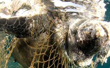 Manejan a su conveniencia la mortandad de tortugas