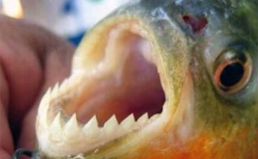 Atacan peces carnívoros a bañistas