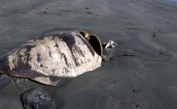 Sin respuesta presidencial la mortandad de tortugas en Ulloa