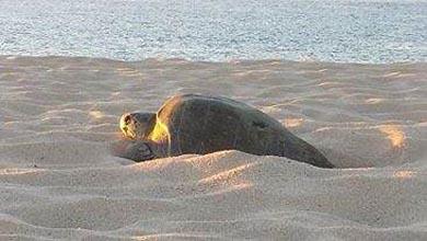 Desova tortuga golfina en playa sanluqueña