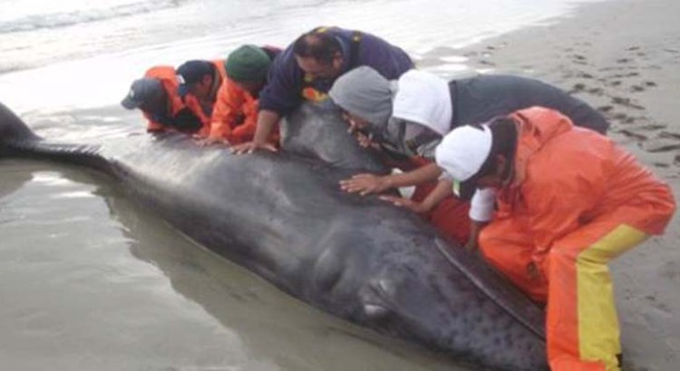 Salva PROFEPA a un ballenato varado