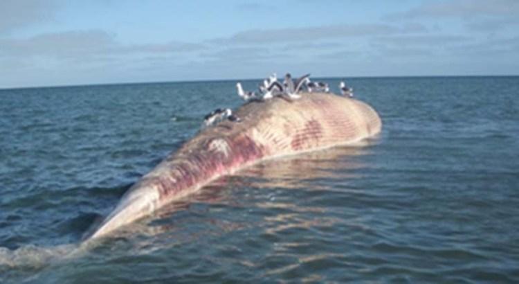 Ballena varada llegó muerta de mar abierto