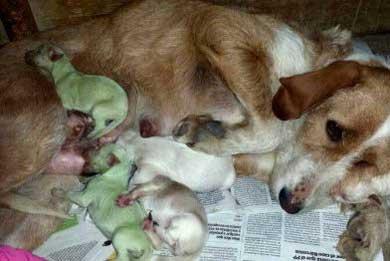 Nacen perros verdes en España