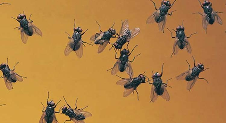 No hay contingencia por la plaga de moscas