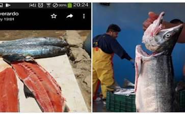 Capturan ejemplar de salmón en BCS