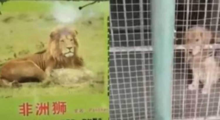 El león no es como lo pintan…