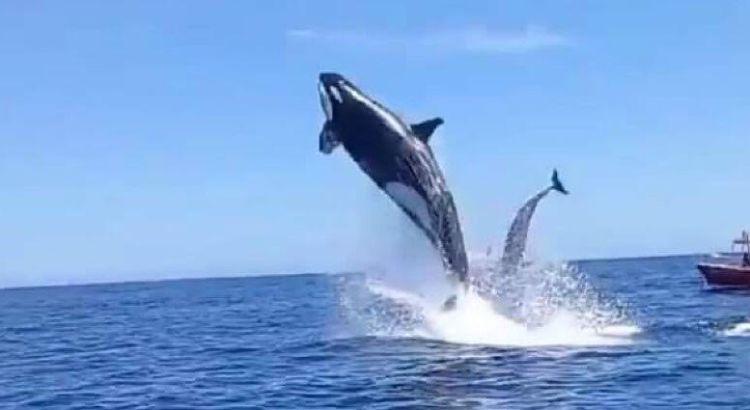 Sorprenden orcas a turistas en Cabo Pulmo
