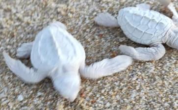 Nacen en playas cabeñas dos tortuguitas albinas