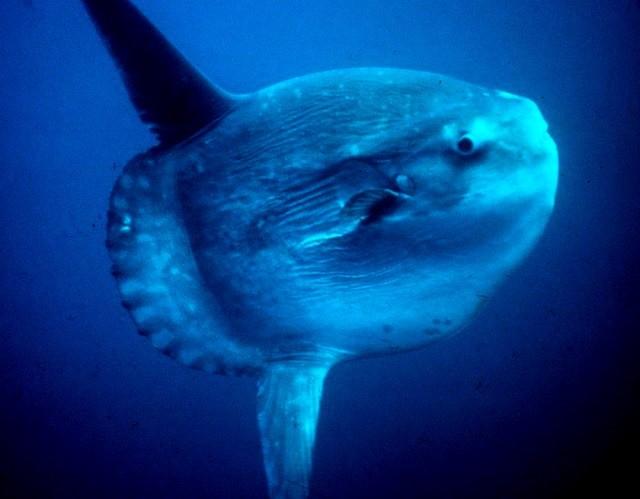 Ciri ikan Mola Mola ketika berenang