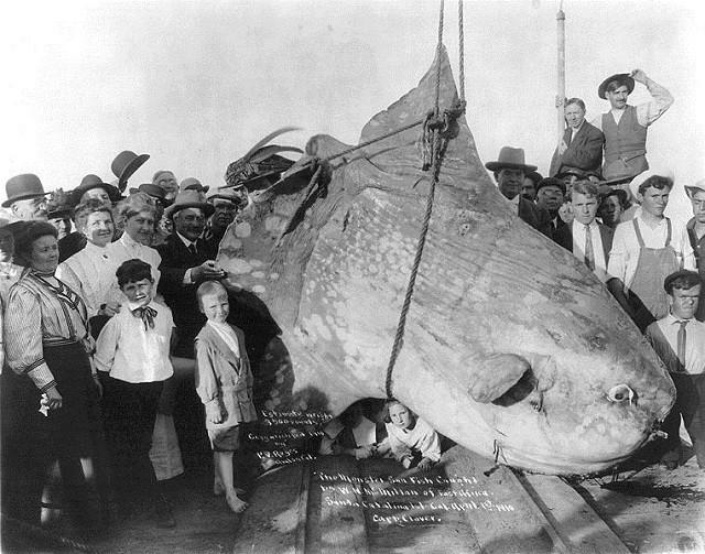 Ikan Mola Mola tertangkap tahun 1910