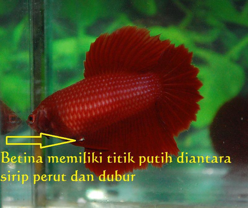 Cara Membedakan Ikan Cupang Jantan Dan Betina Harga Jual Cupang