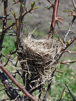 Nest in Sapling