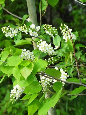 Early Chokecherry Blossoms