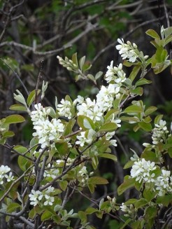 Juneberry Blossoms