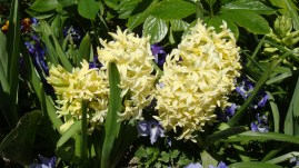Fragrant hyacinths, by Penne Cole