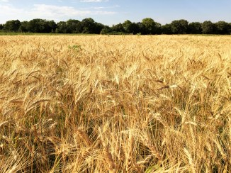Organic Spring Wheat
