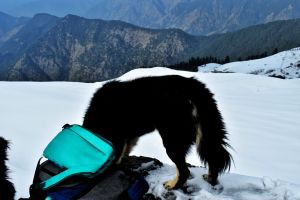 furry mountain dogs with bright eyes while hiking to Tunganath temple in Chopta, Uttrakhand