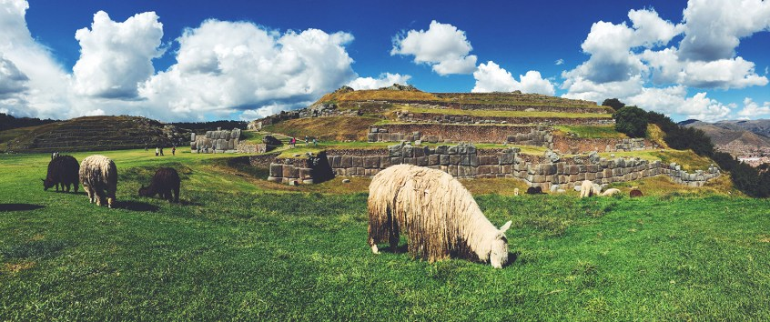Llamas trim the grounds at Sacsayhuaman.