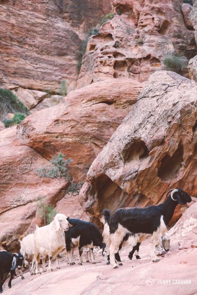 Don't follow the goats!