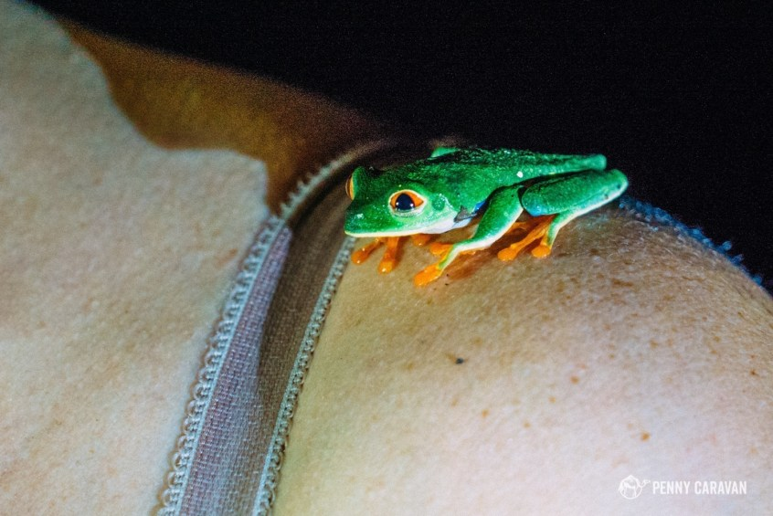 The red eyed tree frog.