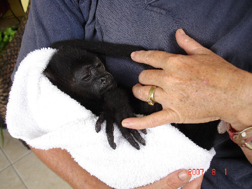 Baby Howler Monkies are often left as orphans when their moms are electrocuted on electric wires that run through the jungles.  My friends in Boquete rescue them and release them into a new tribe.