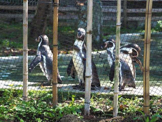 群馬サファリパーク フンボルトペンギン