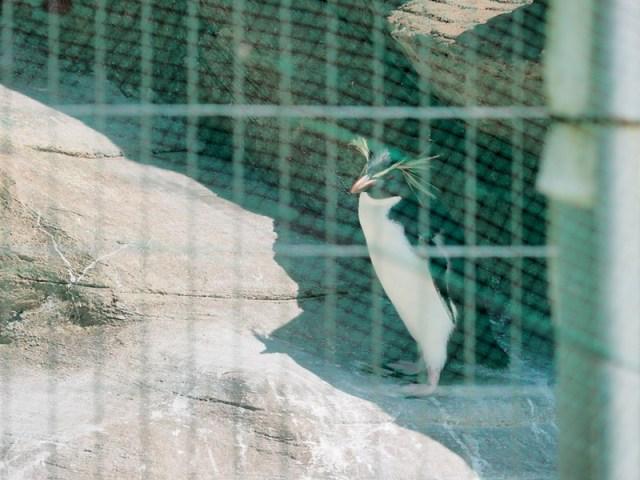 東山動植物園 イワトビペンギン