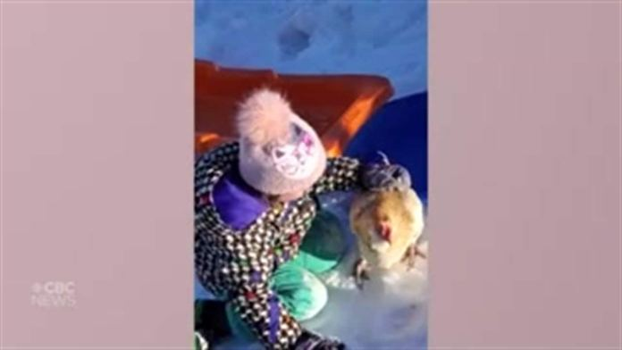 4-year-old Sask. girl takes sled ride with pet chicken
