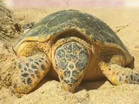 Watch: Endangered hawksbill turtle nests 121 eggs in Dubai