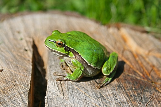animal-green-frog-medium