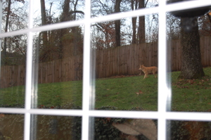 Fox_in_back_yard