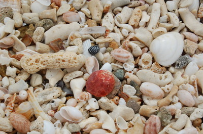 Sea_shells_at_hermitage_bay_2