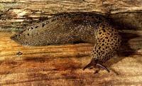 Leopard_slug