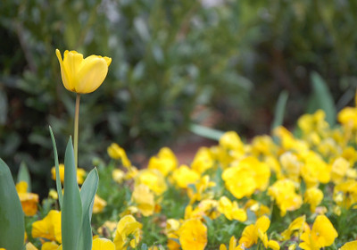 Yellow_tulip_and_pansies