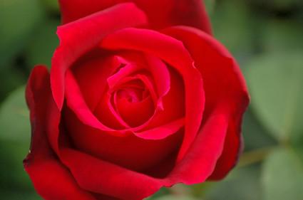 Macro_red_rose