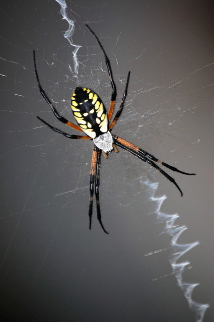 Writing_spider_in_web