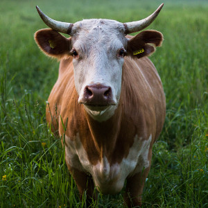 cow of bashan small