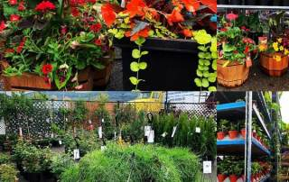 Garden centre in Penticton, annuals, perennials, flowers, vegetables, basket stuffers.